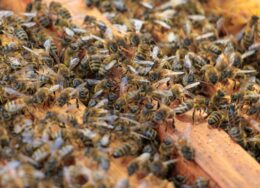 closeup-of-honeybees-on-beehive-under-the-sunlight-1-scaled-260x188.jpg